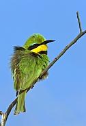 Little Bee-Eater - Botswana