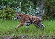 A Captive Juvenile Siberian Tiger