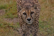 Cheetah Facing Camera Face Shot
