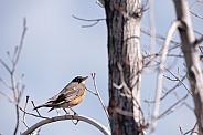 Robin in a tree