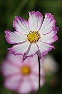 Pink & White Cosmos Flower