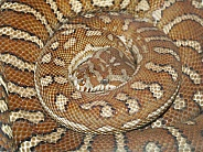 Centralian Carpet Python