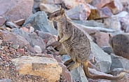 Rock Wallaby Standing Up - Full Body Shot