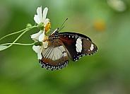 Diadem Butterfly