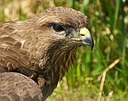 buzzard headshot