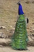 Peacock Full Body and Tail