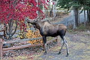 A Young Moose in Alaska