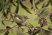 Thornbill (wild)