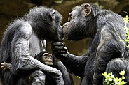 Adult Chimpanzees With Baby
