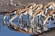 Springbok antelopes (Antidorcus marsupialis)