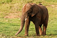 muddy African Elephant