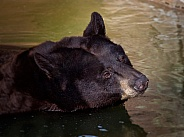Black Bear Close Up