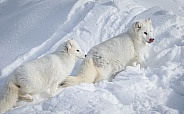 Pair of Arctic Foxes in heavy snow