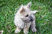 Domestic Dog cairn terrier young puppy