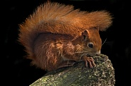 Red Squirrel Full Body Shot On Tree Stump