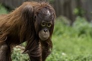 Borean Orangutan Youngster Standing Looking At Camera