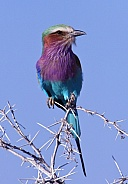 Lilacbreasted Roller - Namibia