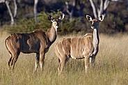 Female Kudu - Botswana