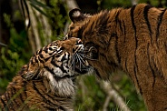 Two Sumatran Tigers Rubbing Heads
