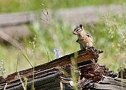 Chipmunk Neotamias minimus