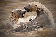 Two Polar Bears Playing In The Water
