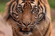 Sumatran Tiger Very Close Up Face