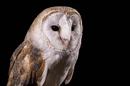 Barn Owl Close Up Face Shot Black Background