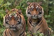 Two Sumatran Tigers Sitting Looking At Camera