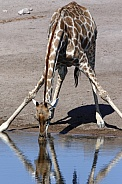 Giraffe drinking at a waterhole - Namibia