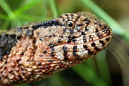 Chinese crocodile lizard (Shinisaurus crocodilurus)
