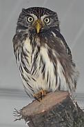 Brazilian Dwarf Owl