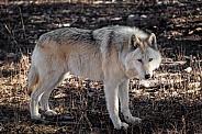 Blonde Wolfdog