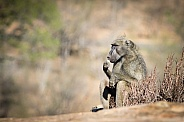 Baboon relaxing