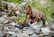 Alaskan brown bear running in a creek