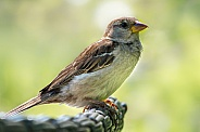 Sparrow at the terrace