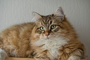 Siberian cat, young male