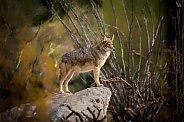 Coyote Profile Full Length on Rock
