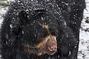Andean Bear Close Up In Snow