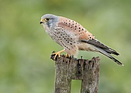 Male Common Kestrel