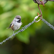 Boreal Chickadee Perched on a Chain