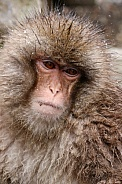 Snow monkey (Japanese Macaque)