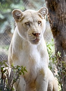 Female lion with a light, creamy colored coat