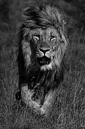 Male lion walking MZNP