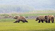 Juvenile Alaska Peninsula Brown Bear or Coastal Brown Bear