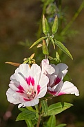 Godetia Garden Flowers