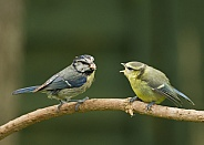 European Blue Tit with Fledgling