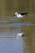Black-winged Stilt - Botswana