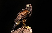Harris Hawk Full Body Black Background