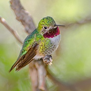 Hummingbird - Broad-tailed