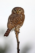 Pearl-Spotted Owlet - Botswana